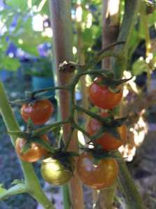 My tomato tree